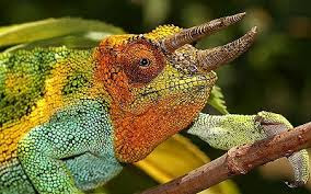Differents SpeCies of Chameleons