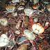 SEMAM faz campanha de conscientização para período de andada do caranguejo-uçá