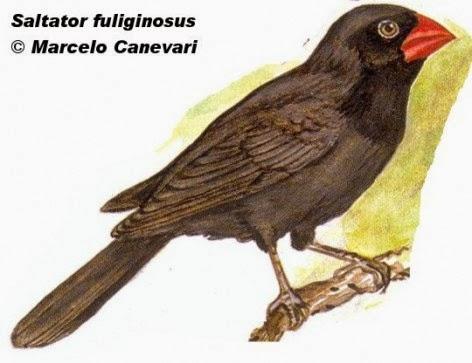 Pepitero negro, Saltator fuliginosus