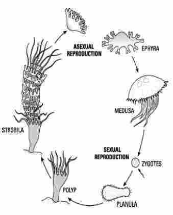 Animalia Bagian 3: Coelenterata (Hewan Berongga) - Your ...