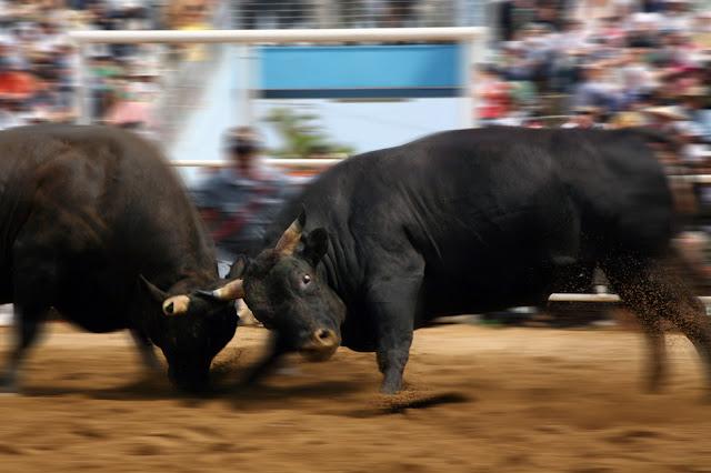 Bull Fighting at Tokunoshima Island, Kagoshima Pref.