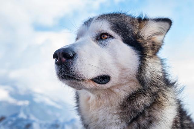 Lịch sử của chó chăn cừu Alaska