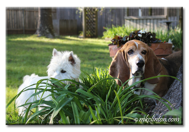 Pierre Westie and Bentley Basset Hound in the garden