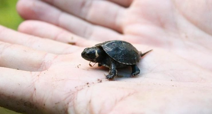 Tiny Turtles Previously Declared Extinct Were Brought Back To Life By Hindu Temple