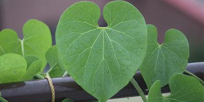 10 Health Benefits of Guduchi