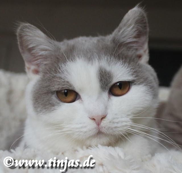 Britisch Kurzhaar Katzenbaby lilac-white 2019 04