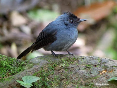 Dusky Crested-flycatcher