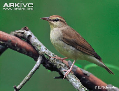 Swainson´s Warbler