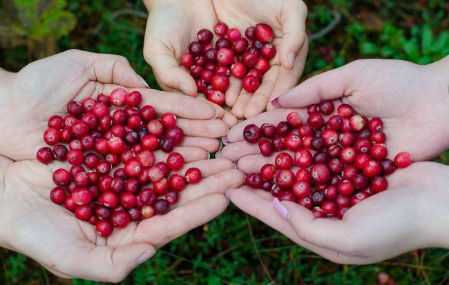 Il mirtillo rosso americano o cranberry