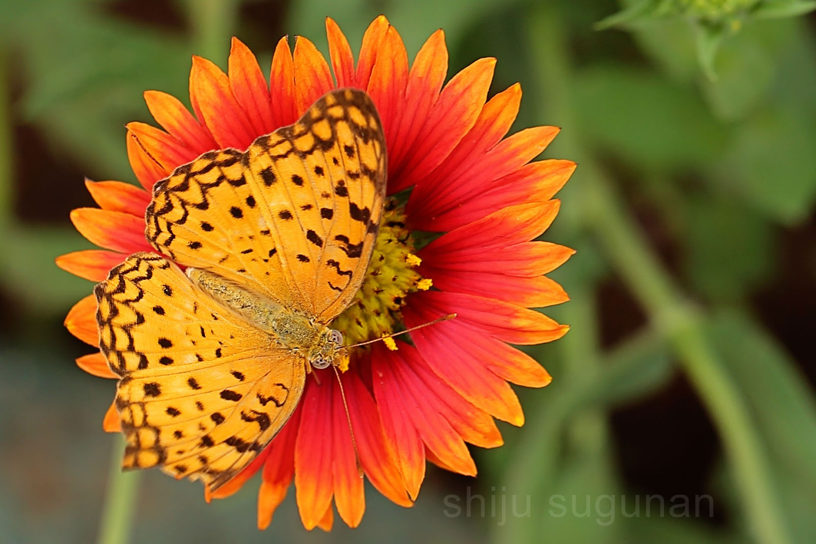 Phalanta Phalantha Butterfly Photo by @shijuvenate