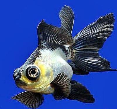 Gambar Ikan Mas Koki Panda Moor