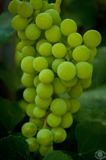 Professional quality fine art photograph of a bunch of green grapes on a vine in Pocatello, Bannock, Idaho by Cramer Imaging