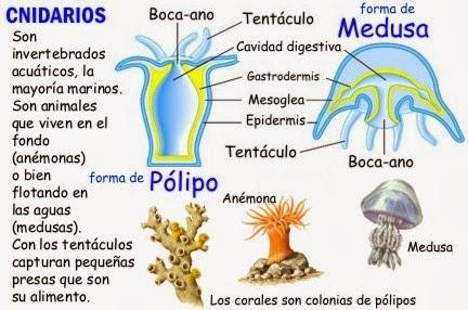 Imagenes de reproduccion asexual en invertebrados