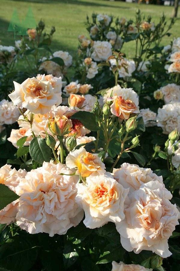 696 Comtessa роза