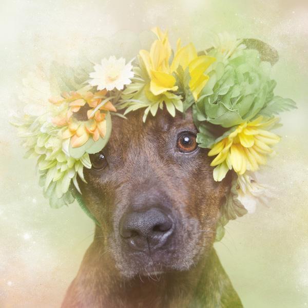 Chùm ảnh những chú chó Pit Bull đội vòng hoa đáng yêu và ngộ nghĩnh