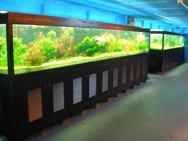 Hướng dẫn cách bảo dưỡng và chăm sóc cá rồng (P1)