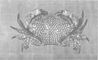 Lophozozymus pictor