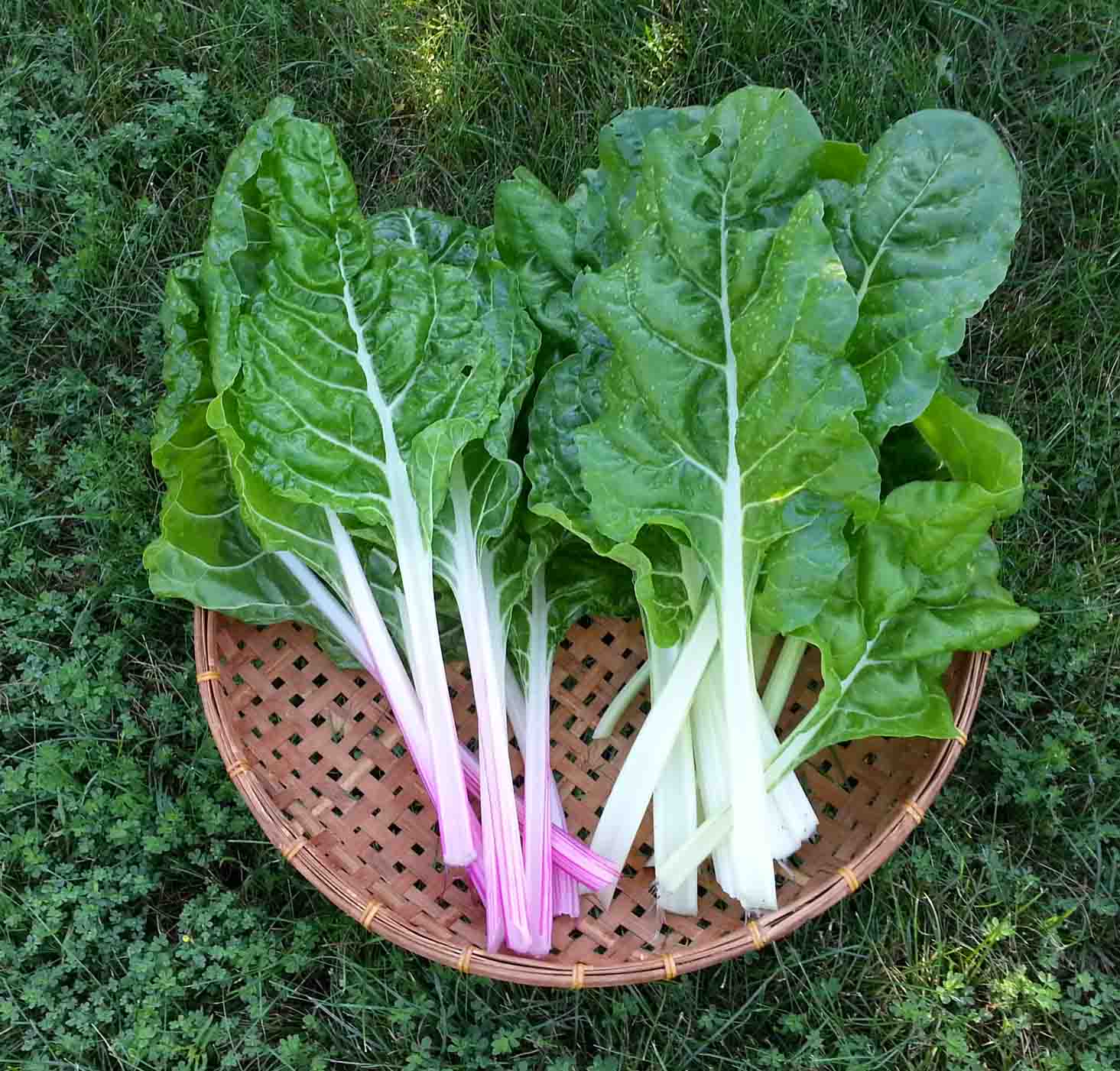 Image result for Swiss Chard