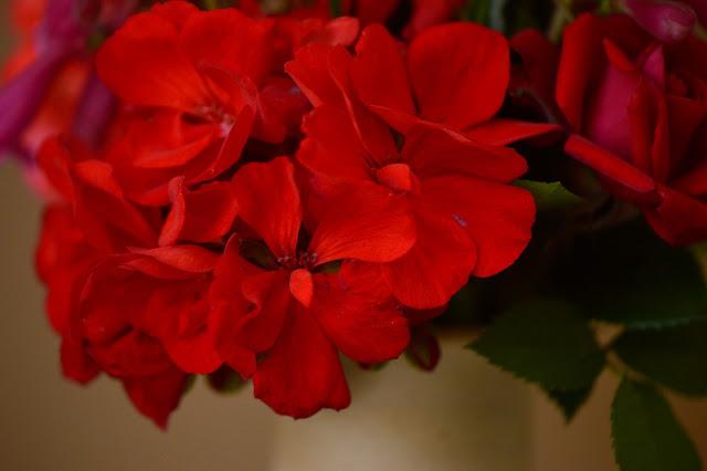 pelargonium hortatum, desert garden, small sunny garden, amy myers, monday vase meme