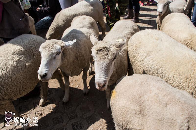 【清境景點】青青草原。周末獨享清境農場綿羊秀