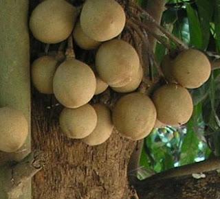 Tumbuhan Kepel (Stelenocarpus burahol)