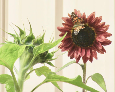 sunflower photo by Kathy Lindemer, BayMoonDesign