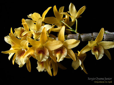 Dendrobium Stardust 'Chiyomi' Orchid