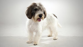 Everything about your Petit Basset Griffon Vendeen