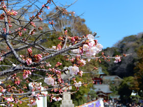 鶴岡八幡宮太鼓橋の桜