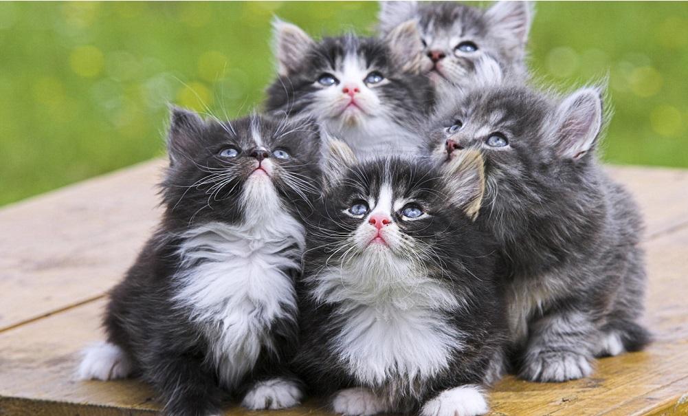 Tips Merawat Anak Kucing Persia Yang Masih Kecil