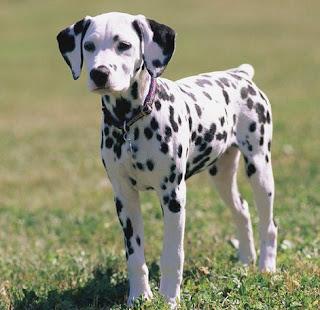 raza de perro mediano dalmata