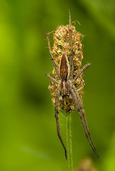Arachnids: Pisaura mirabilis on Plantago lanceolata