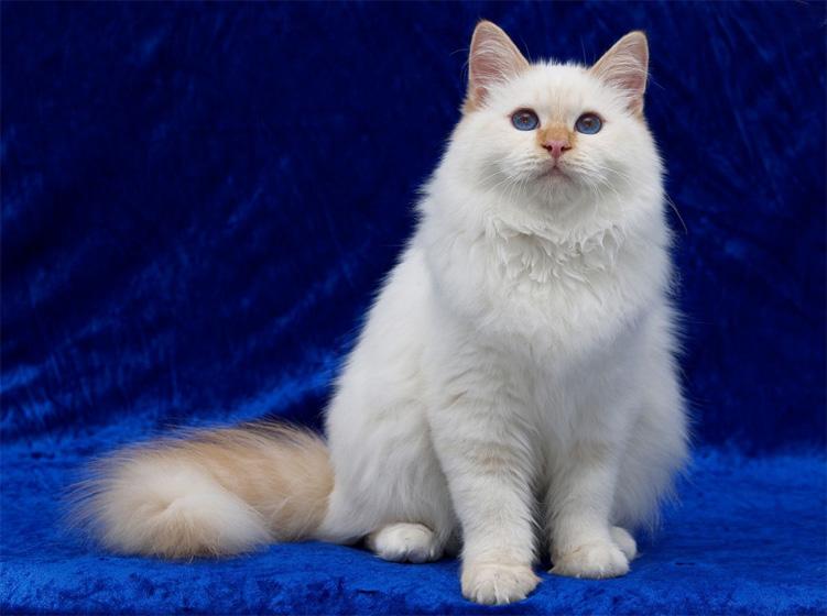 Angora Cats/kittens