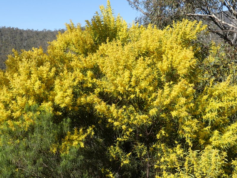 Ian Fraser Talking Naturally Spring Wattles Of The Australian
