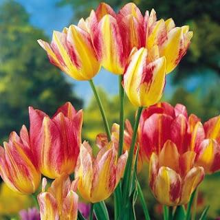 6. Tulip Bulb (dijual seharga $5.700 di abad ke-17)