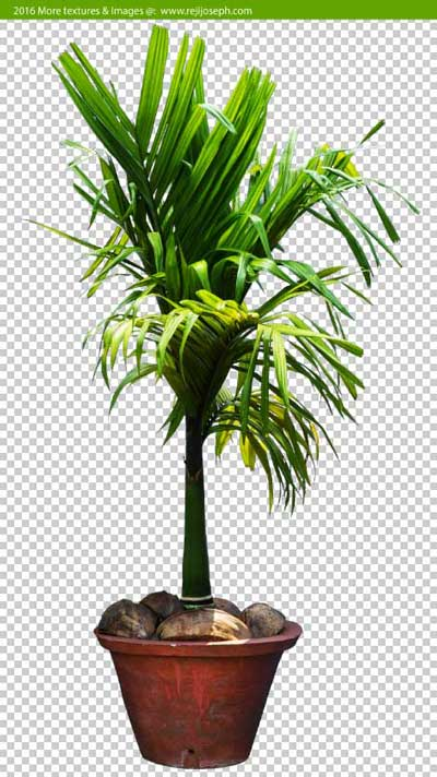 PNG Betel 0nut palm tree 00003