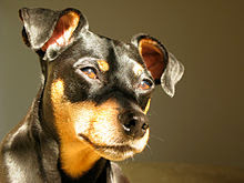 Black Miniature Pinscher small dog
