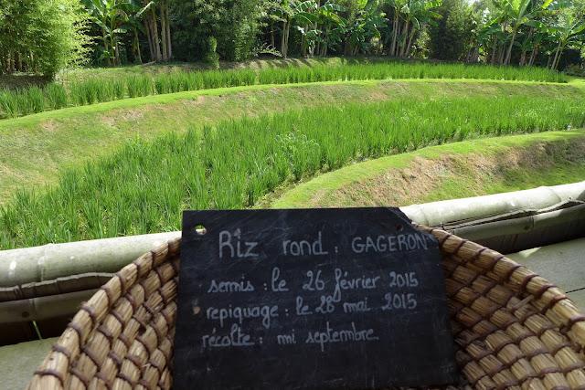 semis de riz rond