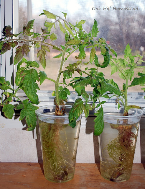 How to grow perennial tomato plants.