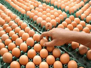 Manfaat Utama Telur
