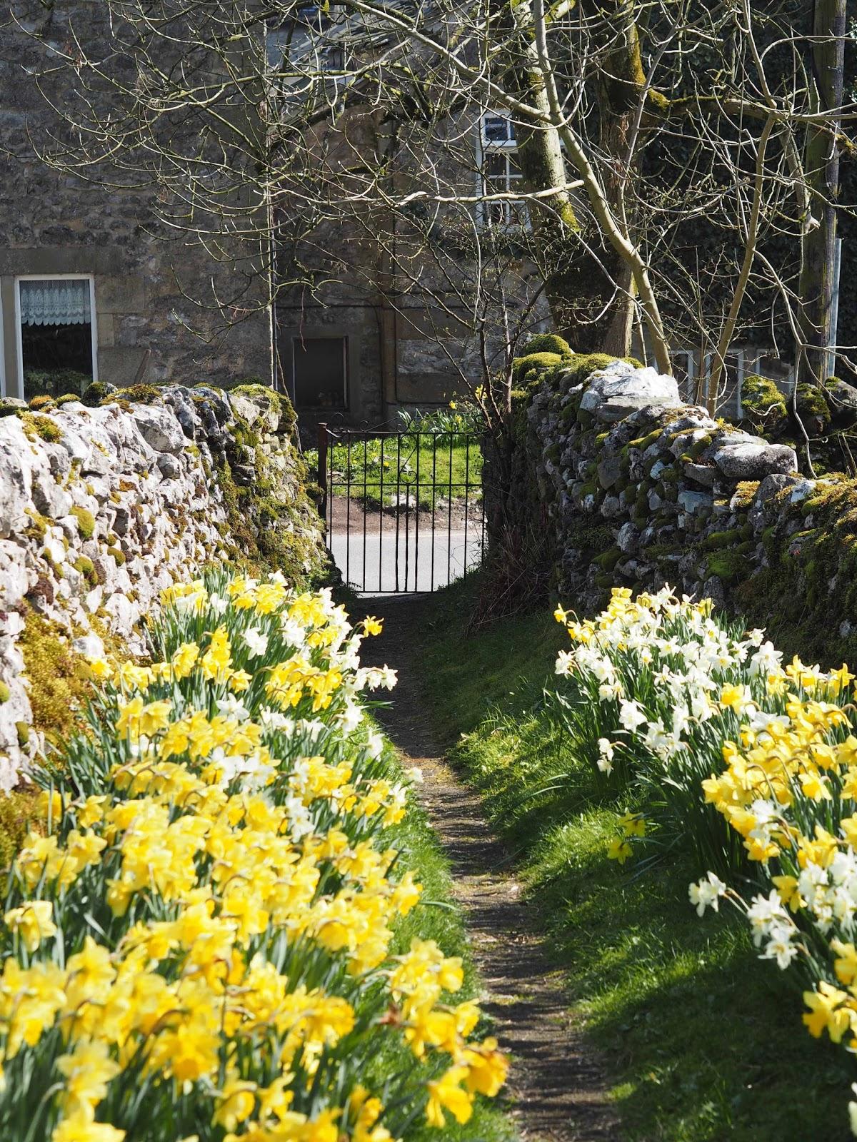 Daffodils in Malham