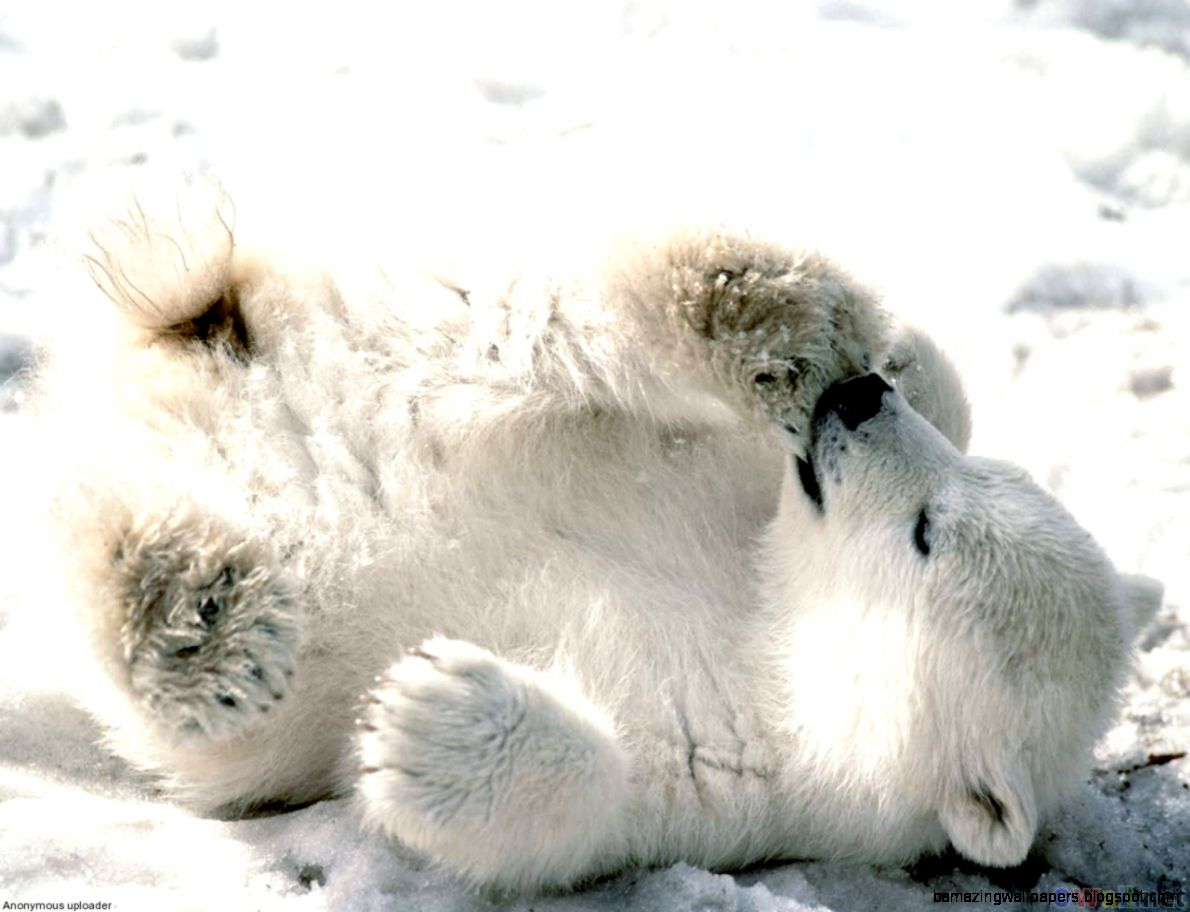 Really Cute Baby Polar Bears | Amazing Wallpapers