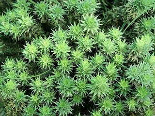 Deuterocohnia lotteae - Abromeitiella lotteae
