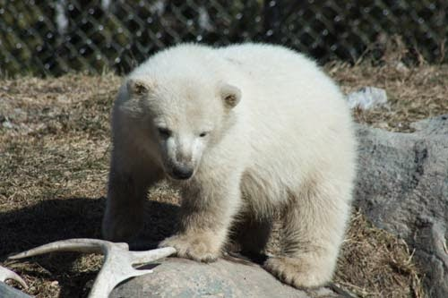 Humphrey the Baby Polar Bear