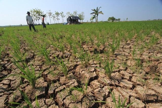 Dinas PUPR Indramayu Mulai Salurkan Air Untuk Ribuan Hektare Sawah Di Indramayu Yang Alami Kekeringan