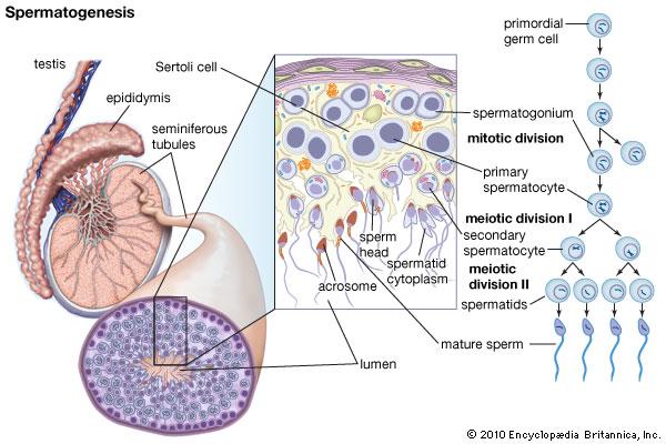OligoAsthenoTeratozoospermia