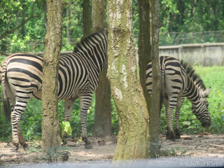 Zebra in Core Safari Park