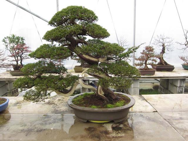 Bonsai on display in Korea