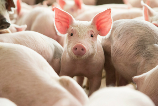 The Wisdom of Swine: The Top 10 Things Pigs Can Teach Us, on the #MINI