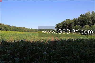 Долгое кукурузное поле у деревни Мацки